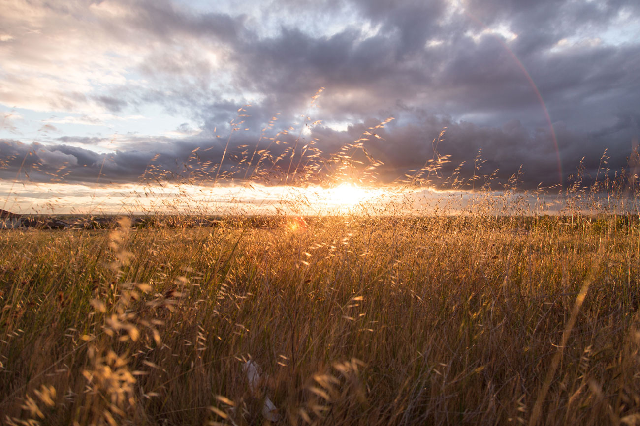 Wheat field sunrise